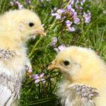 1376695_chicken