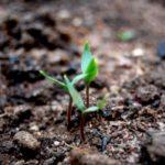 1262982_seedling